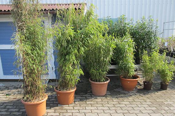 Bambus als Heckenpflanzen