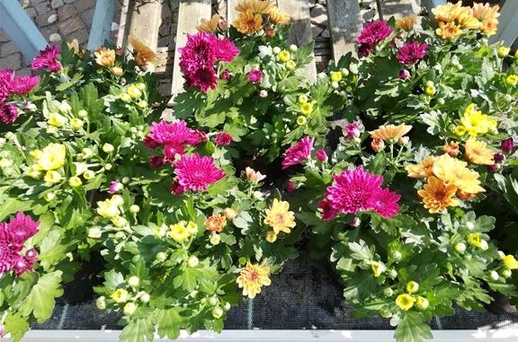 Die ersten Chrysanthemen-Büsche sind da